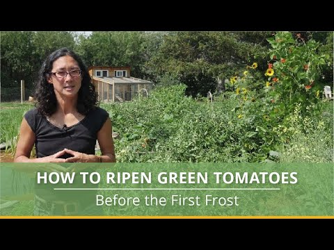 Get those tomatoes to ripen!