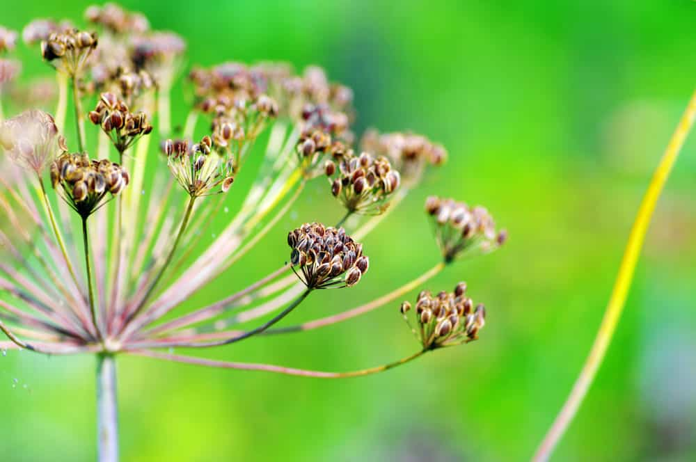 1026256 fennel seeds shallow focus in a garden